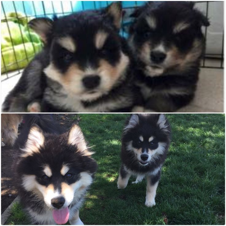 Group of 28Kb Pomsky Puppies Sale