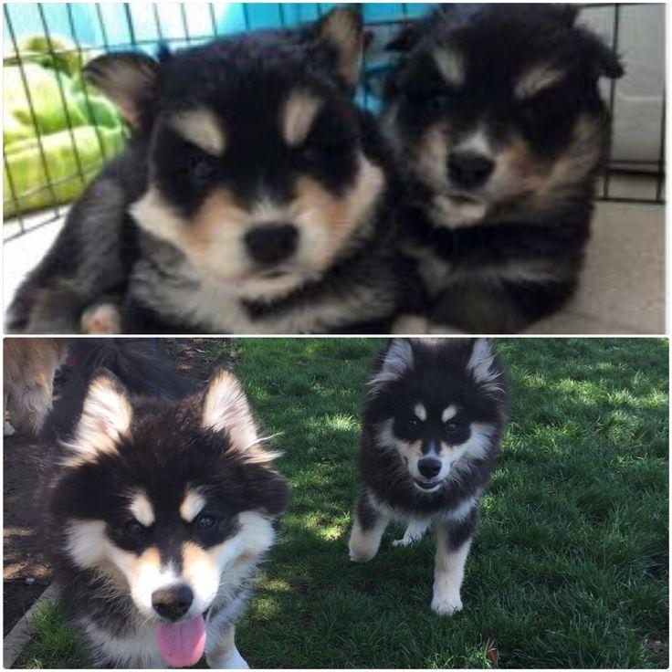 Pomsky Puppies For Sale - Katiebrooke Kennels Pomsky ...