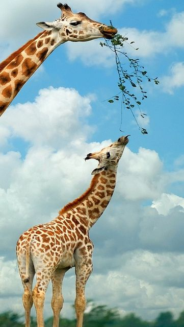 giraffe_nature