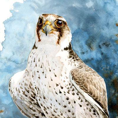 """""""Lanner falcon Studie"""" Aquarellmalerei"""
