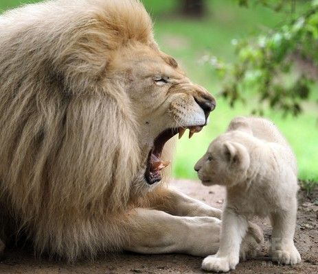 くつろぎすぎ?一家だんらんのホワイトライオン