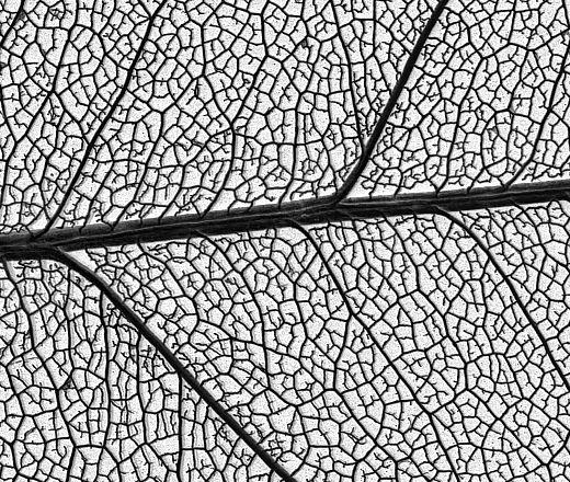leaf skeleton drawing