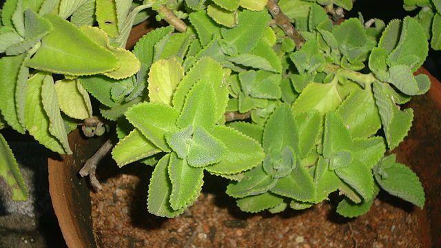 Rýmovník, dost často přezdíván také jako kubánské oregano, latinsky Plectranthus amboinicus je léčivá rostlina využívaná v asijských kulturách.