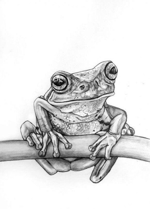 Tree Frog Pencil Drawing Rachelle Dyer Treefrogs Tree Frogs