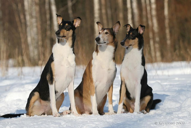 Smooth Collies