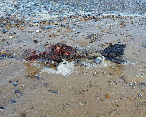 Dead Mermaid Found On Beach: See Shocking Videos & Pics Here - http://www.morningledger.com/dead-mermaid-found-on-beach-see-shocking-videos-pics-here/13108854/