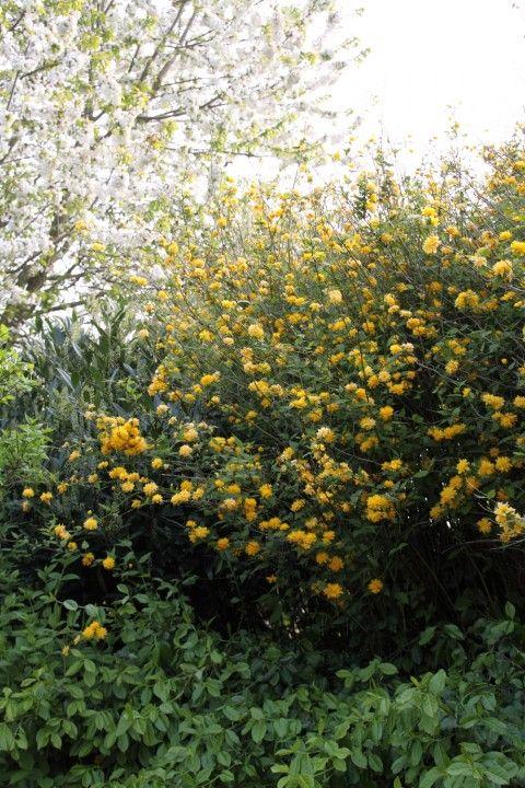 17 best images about bostuin planten on pinterest lemon drops tuin and hydrangea paniculata. Black Bedroom Furniture Sets. Home Design Ideas