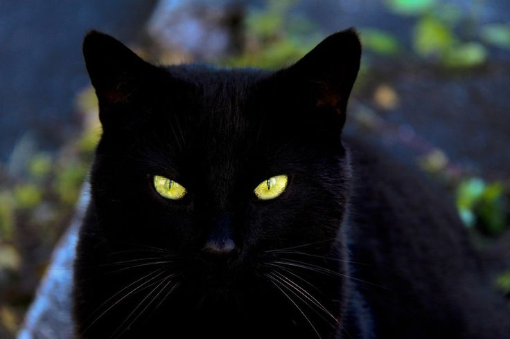 Are you looking for black cat names?  See our list of good names for black cats and follow these tips when choosing names for your black kitten.