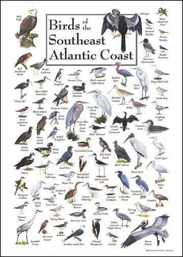 Birds of the Southeast Atlantic Coast Poster