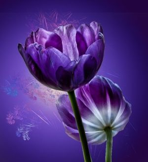 Purple Tulips by juliet