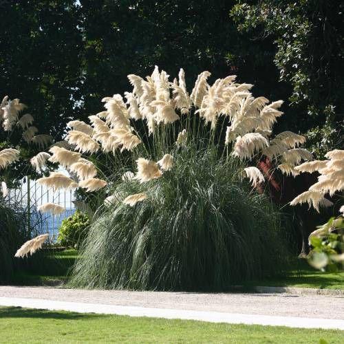 les 25 meilleures id es de la cat gorie herbe de la pampa sur pinterest plantes d 39 ornement. Black Bedroom Furniture Sets. Home Design Ideas
