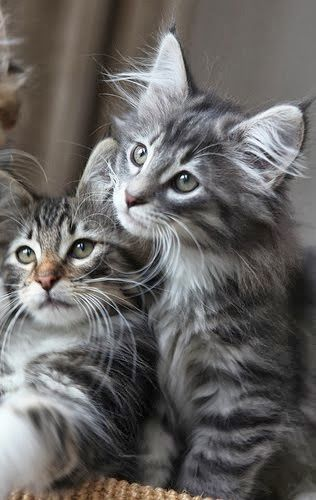 See more Norwegian Forest Cat Litter Size
