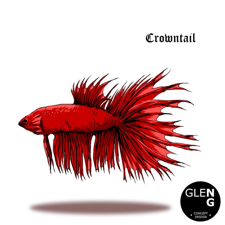 """Super Red Crowntail betta fighting fish."""