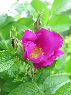 Růže svraskalá