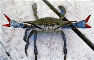 Charleston Auto Sales >> Great claws! He looks mad.   Art with Blue Crabs   Pinterest