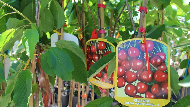 134 best images about fruit and nut trees for tubs pots on for Alberi frutta vendita