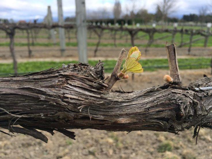 Budburst at @mountrileywines #nzwine #onlymarlborough #chardonnay #winechat