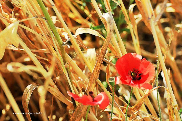 papaveri in un campo di grano