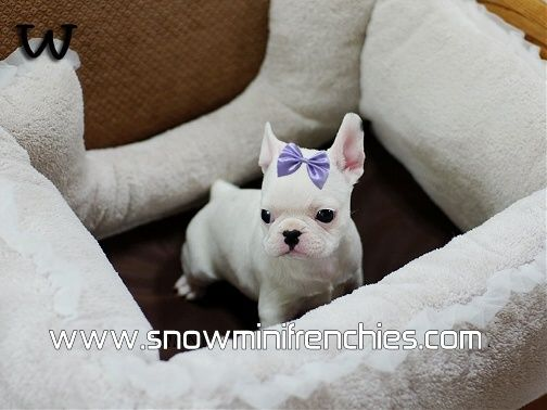 French Bulldog Puppies for Sale, French Bulldogs puppies for sale, Mini Frenchies for Sale, Mini Frenchies, Mini Frenchies for Adoption