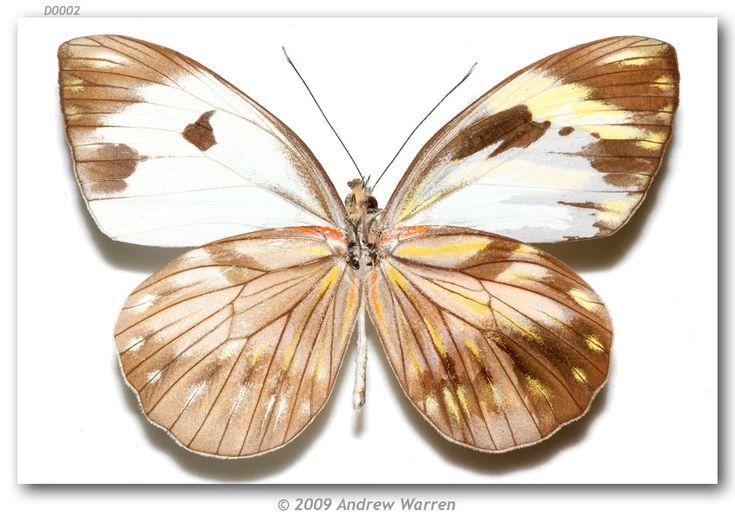 Photo by Andrew Warren. 2009. Pieriballia v. viardi bilateral mosaic gynandromorph MEXICO: VERACRUZ: Popotepe, VIII-1979 [IBUNAM]