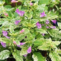Variegated Calamint: Calamintha grandiflora variegata