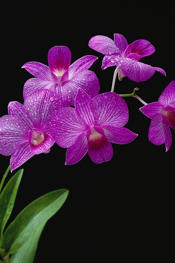 """""""Purple Vanda Orchids"""" by Tomas Del Amo on fineartamerica"""