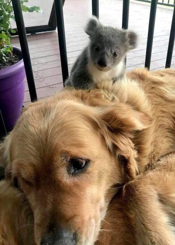 Welcome To Australia Baby Koala Golden Retriever Rescue Golden