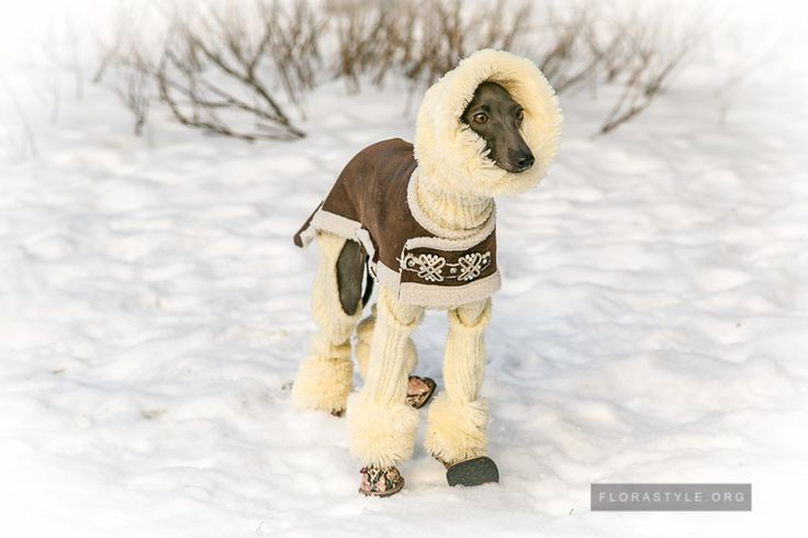 In your house there was a small puppy Italian Greyhound, and this coincided with the cold. Have you read our recommendations and have already decided that you need to buy in the first place, and now you face the challenge to dress the baby Italian Greyhound.