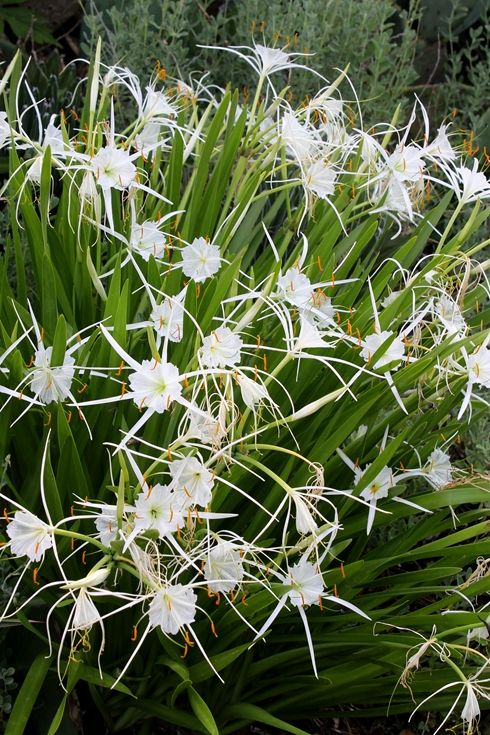 38 best strappy plants images on pinterest garden plants coastal hymenocallis pimana thecheapjerseys Image collections