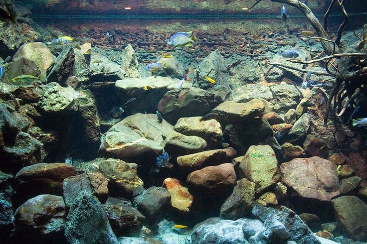 LakeMalawiBiotope. - Not to bad for a cichlid tank. They ...