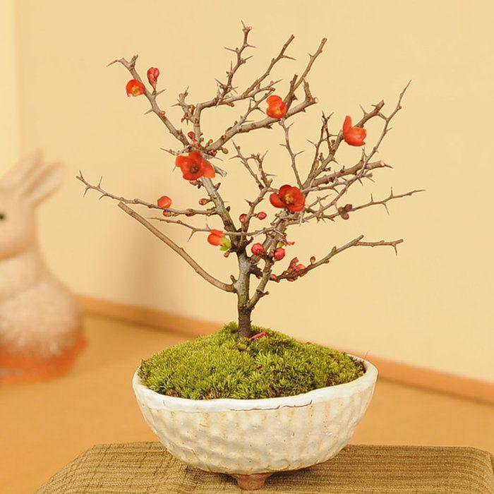ミニ盆栽:長寿梅(瀬戸焼白釉鉢)*【送料無料】