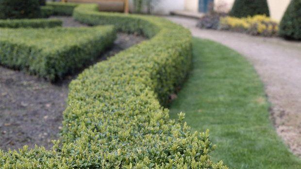 Zimostráz vždyzelený / Buxus sempervirens | Prima Living