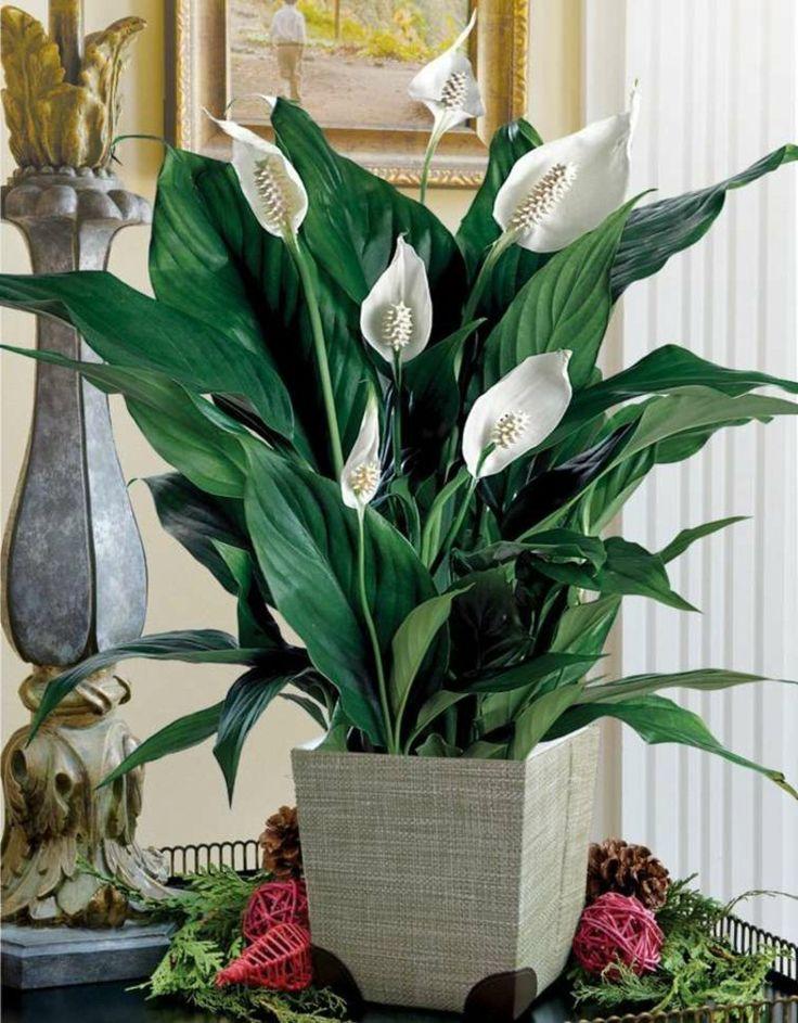 blühende Zimmerpflanzen Lilie