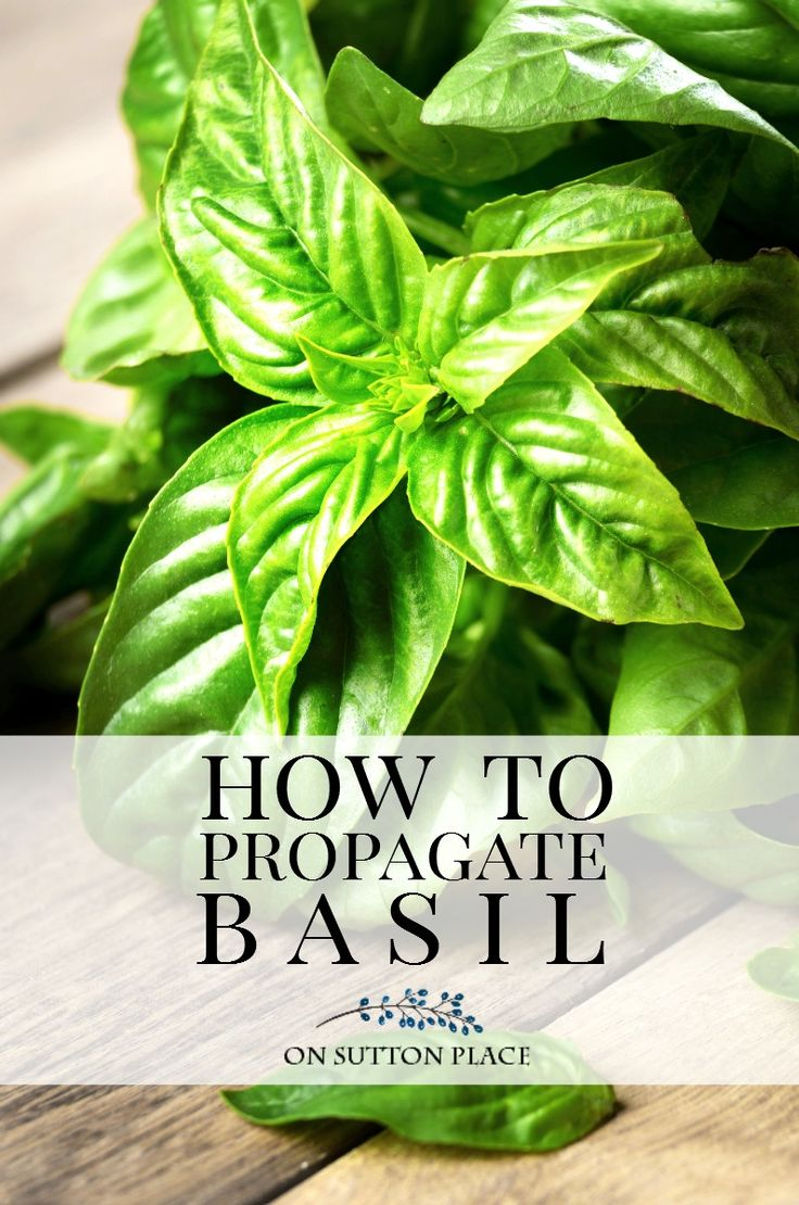 best 25 basil plant ideas that you will like on pinterest growing herbs indoors basil. Black Bedroom Furniture Sets. Home Design Ideas