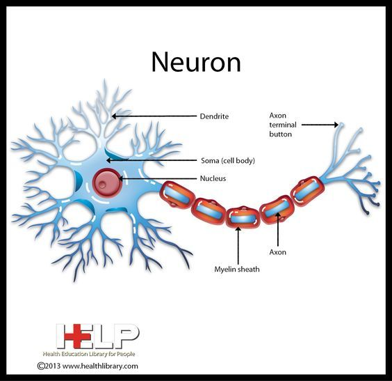 24 best neuro images on pinterest physiology activities for neuron nervous system pinterest neurons neuronsnervous system physiologyanatomynerve fandeluxe Image collections