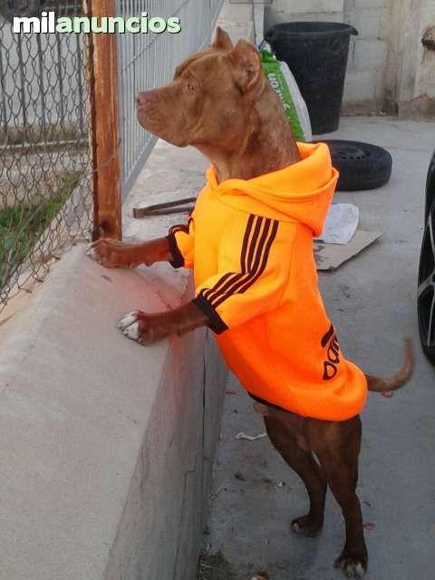 MIL ANUNCIOS.COM - Pitbull red nose. Compra-venta de perros pitbull red nose. Regalo de cachorros..