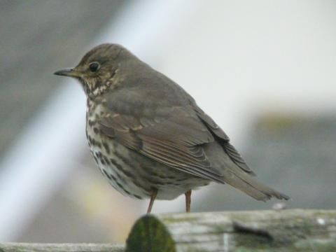Song Thrush: the herald of spring | Nature Notes from Dorset