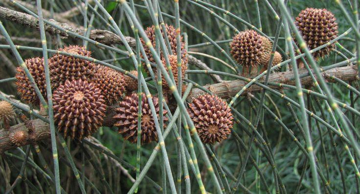 Allocasuarina verticillata corn