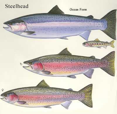 17 best images about scientific illustrations on pinterest for Steelhead fishing tips