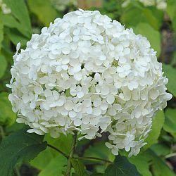 Hortensia Annabelle ( Hydrangea arborescens) met zijn witte bollen is een fantastische heester. Zeer lange bloeitijd. Wanneer snoeien hortensia Annabelle..