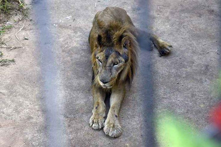 Ed Alves/CB/D.A Press Em 10 dias, Zoo de Brasília perde segundo leão; Dudu foi sacrificado Ele já tinha superado em dois anos a expectativa de vida da espécie em cativeiro, que é de 20, e apresentava problemas de locomoção, de visão, nas funções hepáticas, de incontinência urinária, de mastigação, além de ter momentos de inconsciência