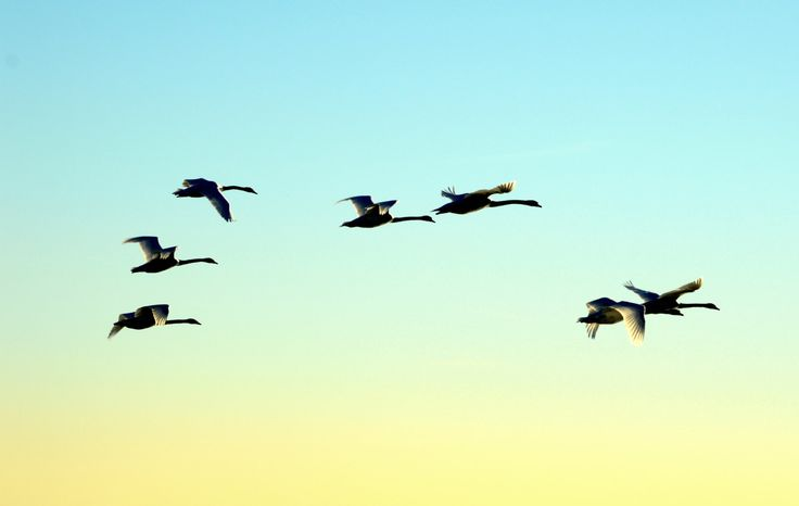 Evening Flight; Seven Trumpeter Swams Fly Before Sunset; Nature at its Finest; Fine Art Photography;  Custom Orders Available by MissmacMemories on Etsy