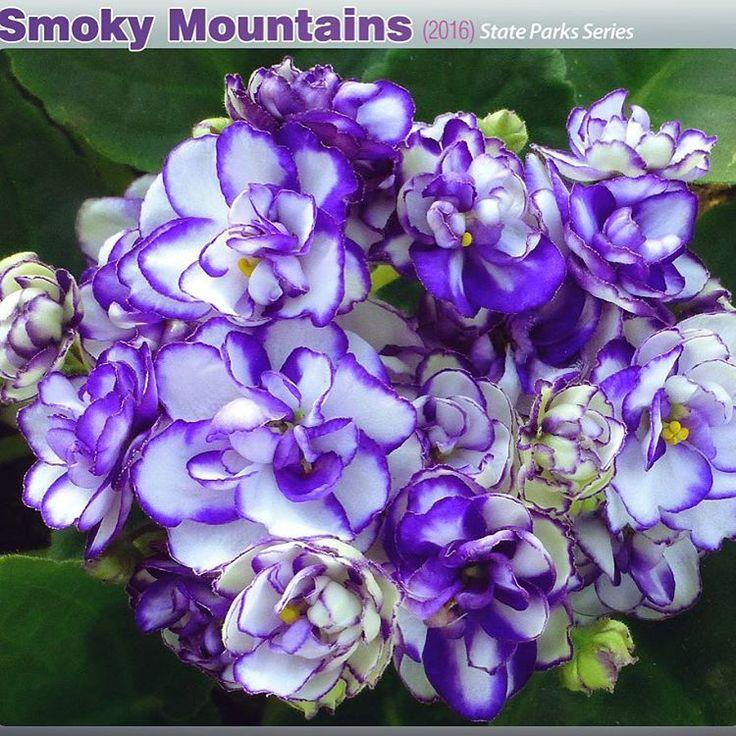 Repost optimara.violets New variety for 2016 - Smoky Mountains (US Parks series) #optimara #optimaraviolets #myviolet #newvariety #introducing #blueandwhite #africanviolet #saintpaulia #newflowers #floral #freshflowers #newflower #violets #violet #instaflower #flowerstagram #smokymountains #smokymountainnationalpark #smokymountain #blueedge #whiteandblue #whiteandpurple #flowersmakemehappy