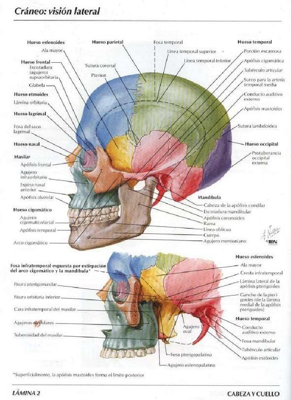 17 best anatomia del craneo images on Pinterest | Anatomia del ...
