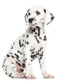 31 x 43 cm Full Color Print   Super Matte Top Coat  De puppie muurstickers van KEK Amsterdam bestaan uit allerlei schattige jonge honden. Deze muursticker van een jonge Dalmatier pup zorgt voor een levendige en speelse kinderkamer.