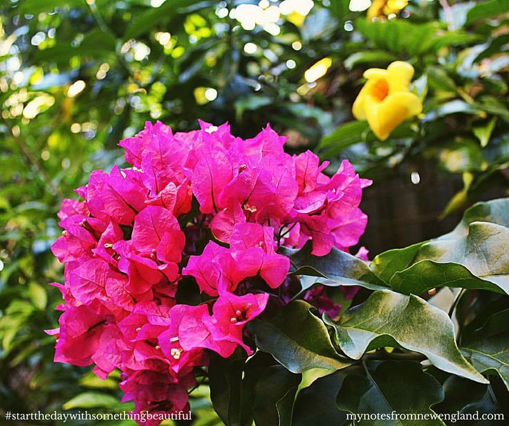 Colours of Brisbane - Bougainvillea with a touch of Allamanda #startthedaywithsomethingbeautiful