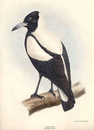 The Magpie in New Zealand -- and ISC mascot