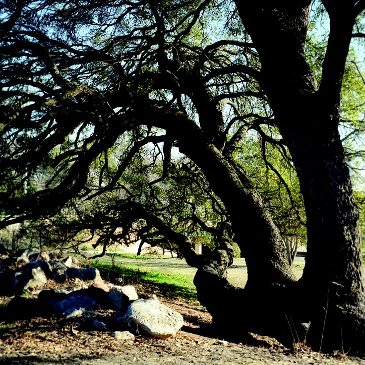 """Comanches tied down the Indian Marker tree to mark a good watering hole, from my new book, """"Living Witness: Historic Trees of Texas"""" See more at livingwitness.net"""