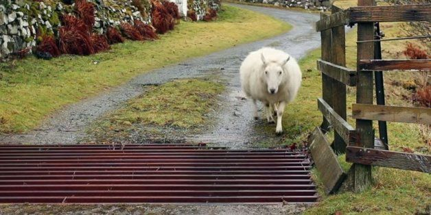 Short-But-Sweet Video Of The Day: How Sheep Cross Cattle Grids