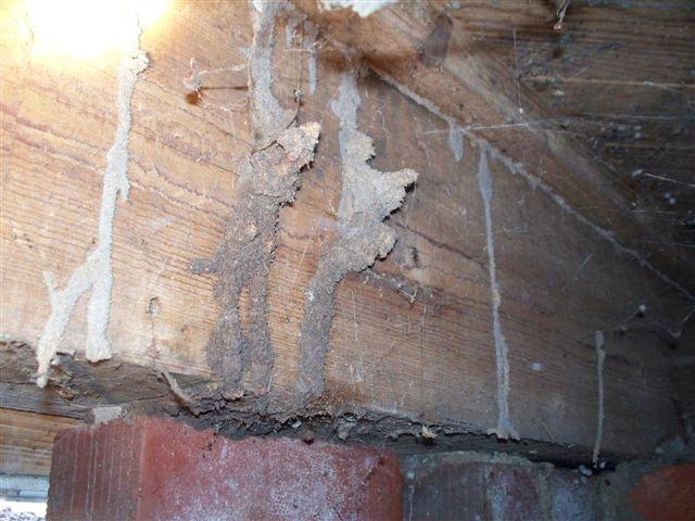 Termite Tube in Crawlspace Termites, Painting, Critter